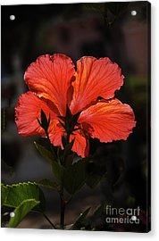 Acrylic Print featuring the photograph Backlit Hibiscus by Robert Bales
