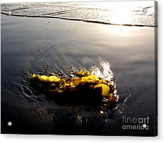 Backlit Kelp Acrylic Print by PJ  Cloud