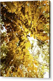 Backlit Leaves Acrylic Print by Wim Lanclus