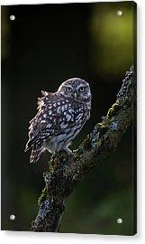 Backlit Little Owl Acrylic Print
