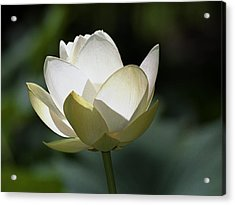 Backlit Lotus Acrylic Print by Barry Culling