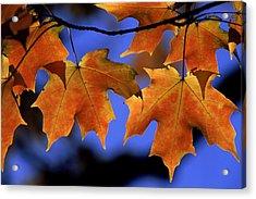 Backlit Maple Leaves Acrylic Print by Paul Pobiak