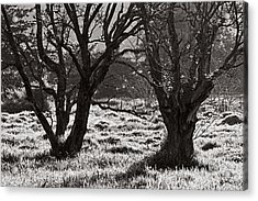 Backlit Trees- St Lucia Acrylic Print by Chester Williams