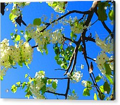 Backlit White Tree Blossoms Acrylic Print by Amy Vangsgard