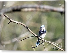Backyard Blue Jay Oil Acrylic Print