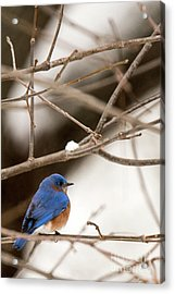 Backyard Bluebird Acrylic Print