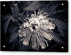 Clematis Flower Bloom Acrylic Print