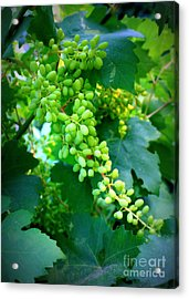 Backyard Garden Series - Young Grapes Acrylic Print by Carol Groenen