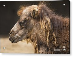 Bactrian Camel Acrylic Print by Twenty Two North Photography