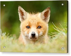 Bad Fur Day - Fox Cub Acrylic Print
