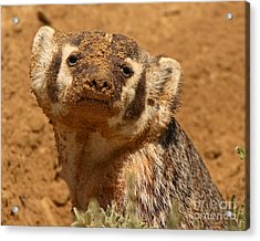 Badger Covered In Dirt From Digging Acrylic Print by Max Allen