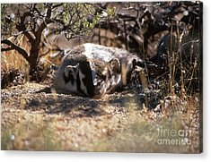 Acrylic Print featuring the photograph Badger by Edward R Wisell
