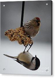 Balancing Act Acrylic Print by Diane E Berry
