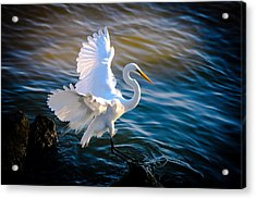 Balancing Act  Great White Egret  Acrylic Print