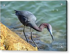 Balancing For Breakfast Acrylic Print