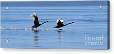 Balck Swans Taking To Flight Acrylic Print by Bill  Robinson