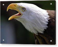 Bald Eagle - Pygargue Acrylic Print