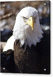Bald Eagle 1 Acrylic Print by Marty Koch
