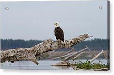 Bald Eagle #1 Acrylic Print