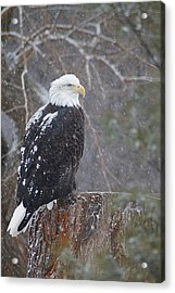 Bald Eagle 1 Acrylic Print