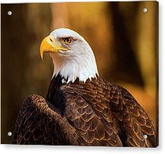 Bald Eagle 2 Acrylic Print