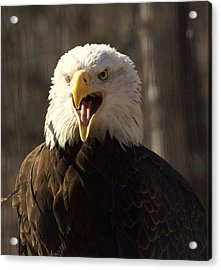Bald Eagle 4 Acrylic Print by Marty Koch
