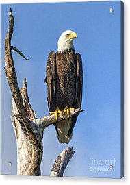 Bald Eagle 6366 Acrylic Print