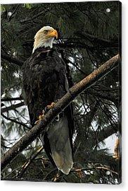 Acrylic Print featuring the photograph Bald Eagle by Glenn Gordon
