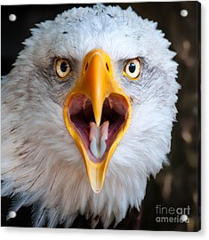 Bald Eagle Call Acrylic Print