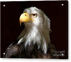 Bald Eagle Closeup Portrait Acrylic Print