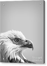 Bald Eagle Acrylic Print by Delphimages Photo Creations