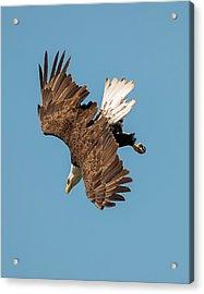 Bald Eagle Dive Acrylic Print