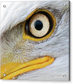 Bald Eagle Eye Acrylic Print
