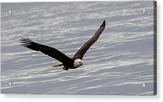 Bald Eagle Flying Over Water Acrylic Print