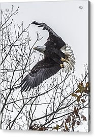 Bald Eagle Flying Acrylic Print