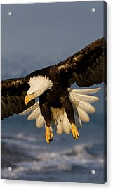 Bald Eagle In Action Acrylic Print