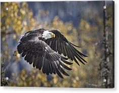 Bald Eagle In Flight, Alaska, Autumn Acrylic Print