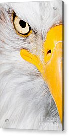 Bald Eagle In Focus Acrylic Print