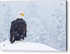 Bald Eagle In The Snow Acrylic Print by Brandon Broderick