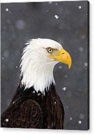 Bald Eagle Intensity Acrylic Print