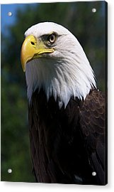 Bald Eagle Acrylic Print by JT Lewis