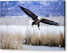 Acrylic Print featuring the photograph Bald Eagle Landing by Bryan Carter