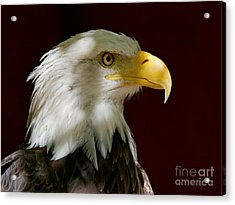 Bald Eagle - Majestic Portrait Acrylic Print