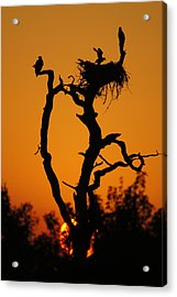 Acrylic Print featuring the photograph Bald Eagle Nestling At Sunset by Lynda Dawson-Youngclaus