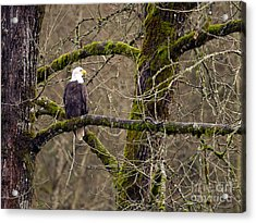 Bald Eagle On Mossy Branch Acrylic Print by Sharon Talson