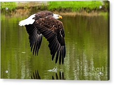 Bald Eagle Over A Pond Acrylic Print