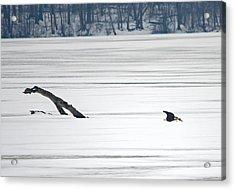 Bald Eagle Over Middle Creek Acrylic Print