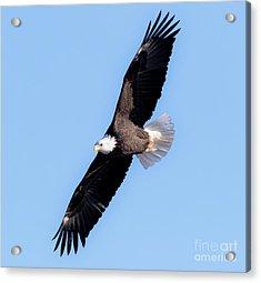 Bald Eagle Overhead  Acrylic Print by Ricky L Jones
