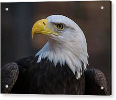 Bald Eagle Painting Acrylic Print by Chris Flees