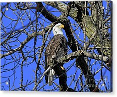 Acrylic Print featuring the photograph Bald Eagle by Paula Guttilla
